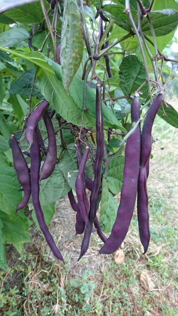 Haricots violets, Murrnong, Violet Town