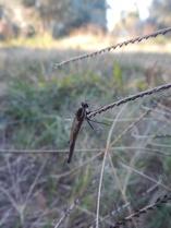 Jeune libellule, Murrnong, Violet Town