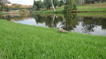 Quand on reste suffisamment longtemps assis au bord de l'eau, on commence à intéresser les oiseaux. Colombe lophote, Ocyphaps lophotes, Adelaide