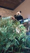 Il y a aussi le seul couple de pandas de l'hémisphère Sud, pas mal pour la notoriété du zoo. Adelaide zoo