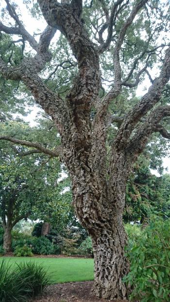 Énorme chêne liège européen, Botanic Garden, Geelong