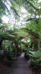 Fougères géantes, Maits rest rainforest walk, Great Otway National Park