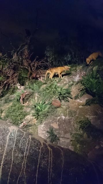 Thylacine, le dernier grand prédateur australien, persécuté jusqu'à son extinction officielle en 1936. Naracoorte Caves National Park