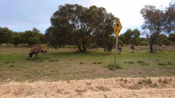 Émeus d'Australie (sauvages), Dromaius novaehollandiae, Monarto zoo