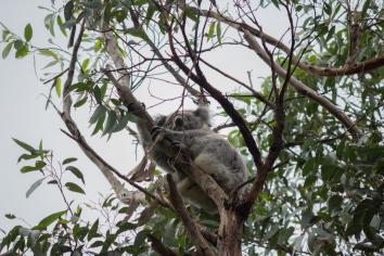 Koala, Phascolarctos cinereus, Great Otway National Park