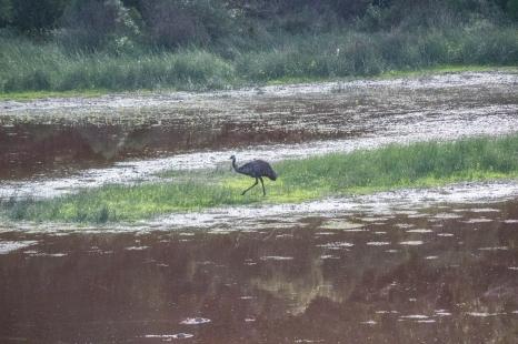 Émeu d'Australie, Dromaius novaehollandiae, Tower Hill State Reserve
