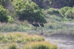 Émeus d'Australie, Dromaius novaehollandiae, Tower Hill State Reserve