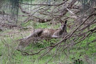 Kangourou géant, Macropus giganteus, Tower Hill State Reserve