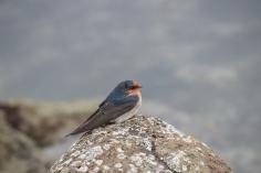 Hirondelle messagère, Hirundo neoxena, Griffiths Island
