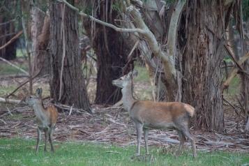Biche et jeune cerf élaphe, Cervus elaphus, Grampians National Park
