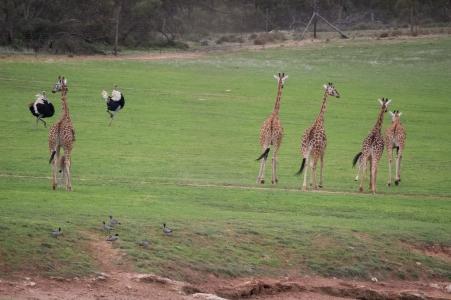 Course entre girafes et autruches. Les autruches ont gagné. Monarto zoo