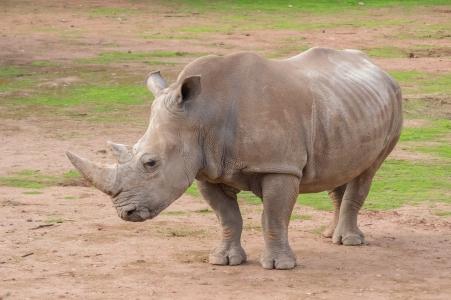 Rhinocéros blanc, Monarto zoo