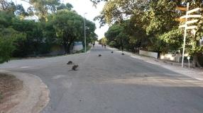 Les quokkas sont vraiment partout ! Rottnest Island