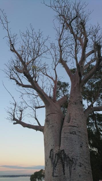 Baobab transporté depuis la région des Kimberleys au Nord de l'Etat (il devait être abattu pour créer une route ; tombé malade dans le transport, il a de nombreuses blessures sur l'autre face et commence à cicatriser, après quelques années), Kings Park, Perth