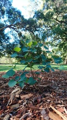Bébé eucalyptus planté par Jane Goodall, Kings Park, Perth