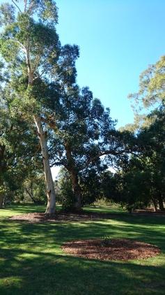 Le petit eucalyptus planté dans le rond de mulch au premier plan deviendra grand comme celui de gauche. Kings Park, Perth