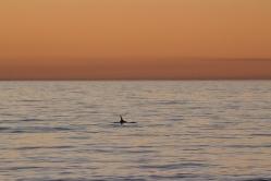 Mon tout premier dauphin ! Grand dauphin de l'océan Indien, Tursiops aduncus, Glenelg