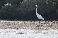 Grande aigrette, Ardea modesta, Port Adelaide Dolphin Sanctuary