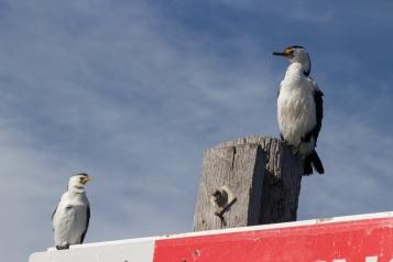 Cormoran pie à gauche (Microcarbo melanoleucos), cormoran varié à droite (Phalacrocorax varius), Port Adelaide Dolphin Sanctuary