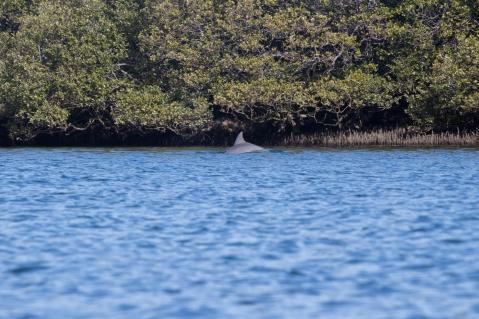 Le seul que j'ai vu depuis le kayak... Grand dauphin de l'océan Indien, Tursiops aduncus, Port Adelaide Dolphin Sanctuary