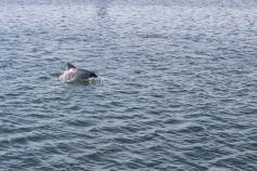 Grand dauphin de l'océan Indien, Tursiops aduncus, Port Adelaide Dolphin Sanctuary