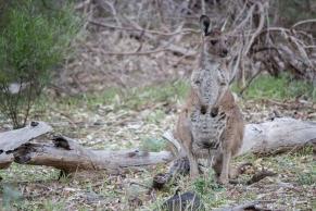 Kangourou géant, Macropus giganteus, Wilpena Pound