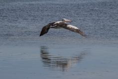 Pélican à lunettes, Pelecanus conspicillatus, Baird Bay