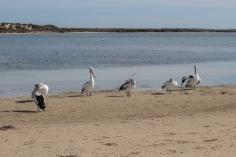 Pélicans à lunettes, Pelecanus conspicillatus, Baird Bay