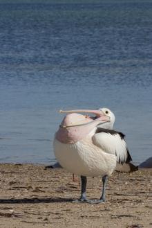 Après la toilette, une seconde de détente et on se couche. Pélican à lunettes, Pelecanus conspicillatus, Baird Bay