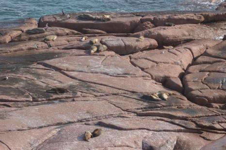 Lions de mer australien, Neophoca cinerea, Point Labbatt