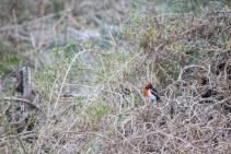 Miro à front rouge, Petroica goodenovii, Rottnest Island