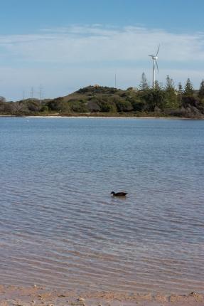 Tadorne d'Australie, Tadorna tadornoides, Rottnest Island