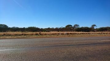 Le bétail se promène souvent sur la route ou au bord, comme ces chèvres. North West Coastal Highway