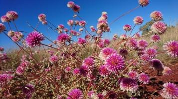 Fleurs sauvages, Pilbara, WA