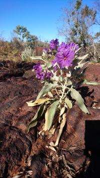 Fleur sauvage, Karijini National Park