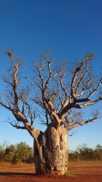 Mystique baobab au bord d'une route, Derby, WA