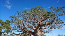 Dormir au pied d'un arbre pareil, ça n'a pas de prix. Baobab tree rest area, Great Northern Highway, WA