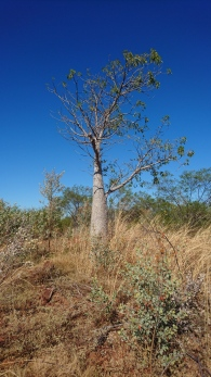 Baobab, Great Northern Highway, WA