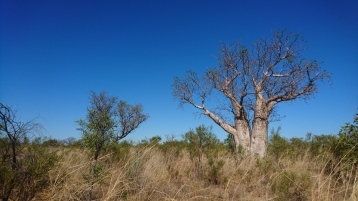 Baobabs, Great Northern Highway, WA