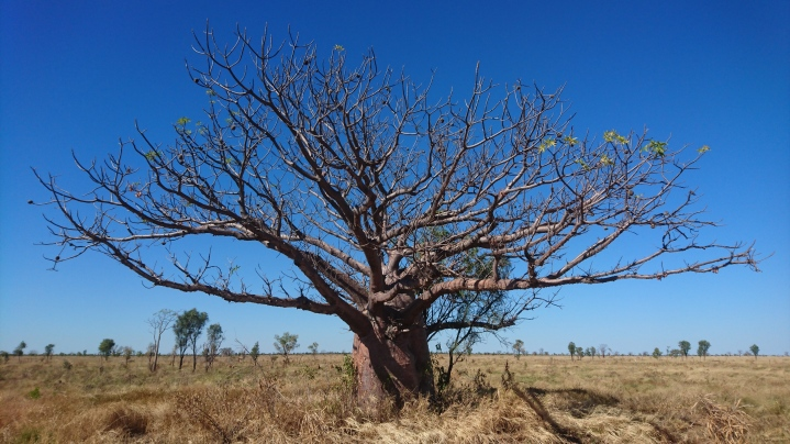 Baobab, Great Northern Highway, WA
