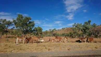Le bétail en vadrouille, Great Northern Highway, WA