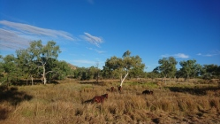 Chevaux sauvages, enfin ! Great Northern Highway, WA