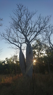 Bye bye baobabs, Gregory Tree National Park, NT