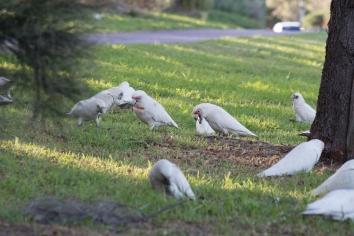 Cacatoès rosella, Cacatua sanguinea, quelque part au Nord de Perth