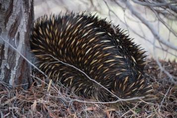 Si on est trop près, formation hérisson ! Échidné à nez court, Tachyglossus aculeatus, Kalbarri National Park
