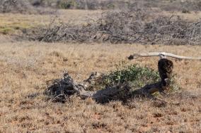 Balbuzard d'Australie, Pandion cristatus, Cape Range National Park