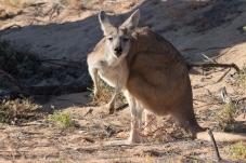Kangourou gris, Macropus fuliginosus, Cape Range National Park