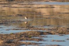 Pluvier à tête rousse, Charadrius ruficapillus, Cape Range National Park