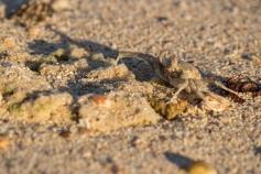 Crabe fantôme, Ocypode convexa, Cape Range National Park