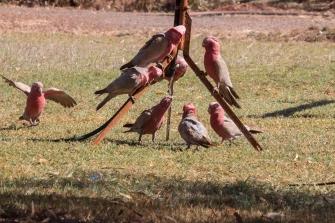 On tire avantage des fuites d'eau ! Cacatoès rosalbins, Eolophus roseicapilla, Pilbara